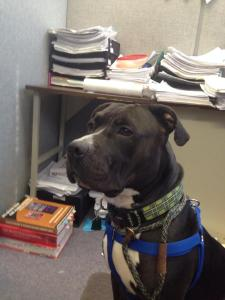 Biscuit is the best looking office worker I have ever met!